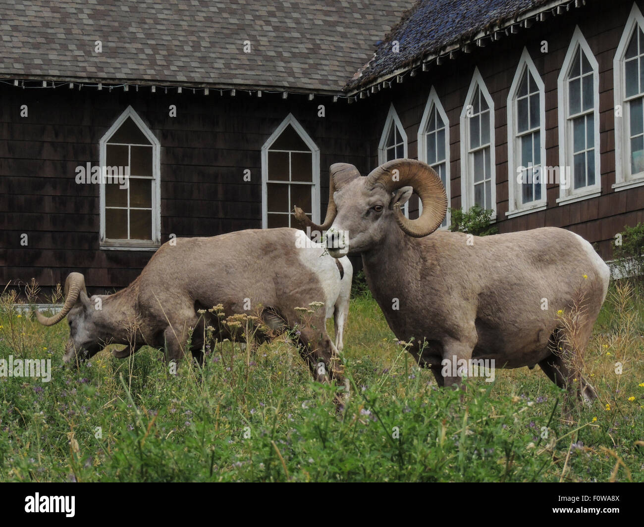 Big Horn Sheep Rams (ovis canadensis) feed next to a Church  in Radium Hot Springs, British Columbia, Canada. - Stock Image
