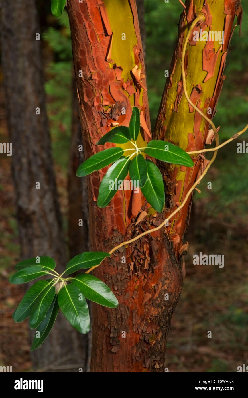 Madrone Tree (Arbutus menziesii) is an evergreen tree with rich orange-red bark that peels away in sheets when mature. - Stock Image