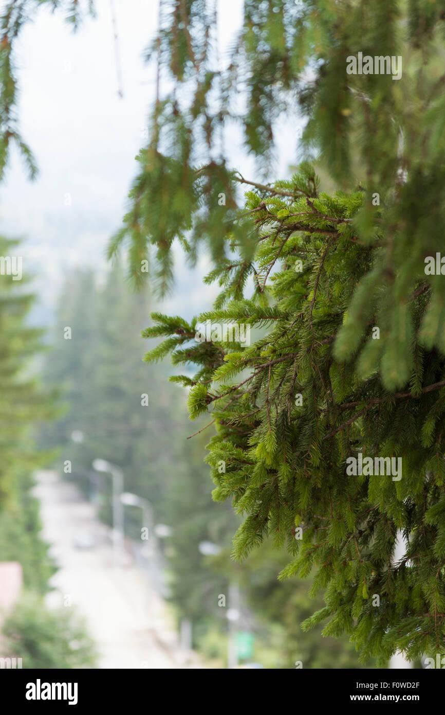 Pine tree closeup - Stock Image