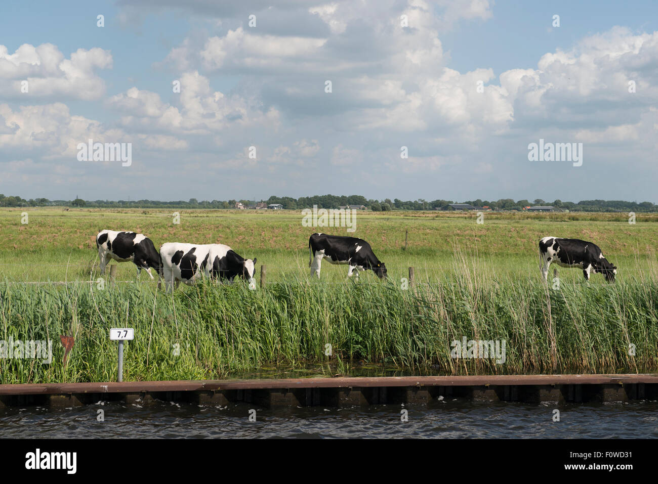 Milk cows grazing at the banks of the Eem river, Amersfoort, Netherlands Stock Photo