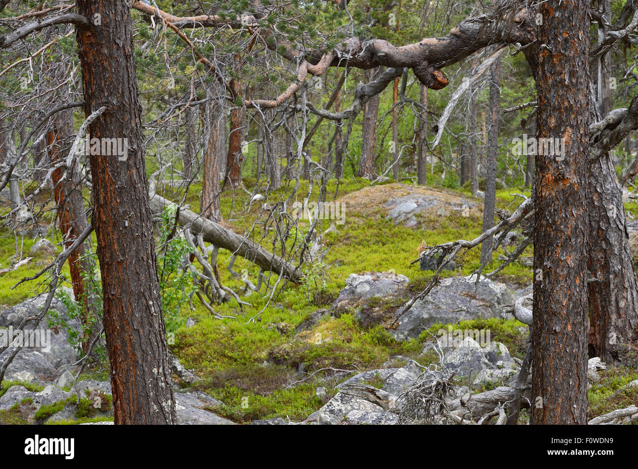 Scots pine (Pinus sylvestris) trunks in old-growth pine forest, Stora Sjofallet National Park, Greater Laponia Rewilding Stock Photo