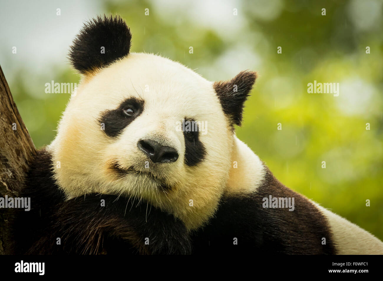 Giant panda bear falls asleep during the rain in a forest after eating bamboo Stock Photo