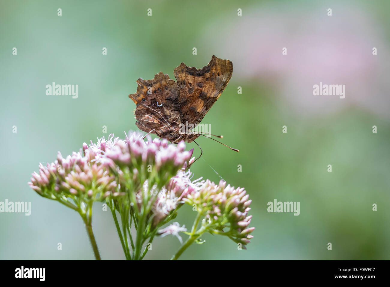 Comma butterfly (Polygonia c-album) eating nectar from flowers in grassland - Stock Image
