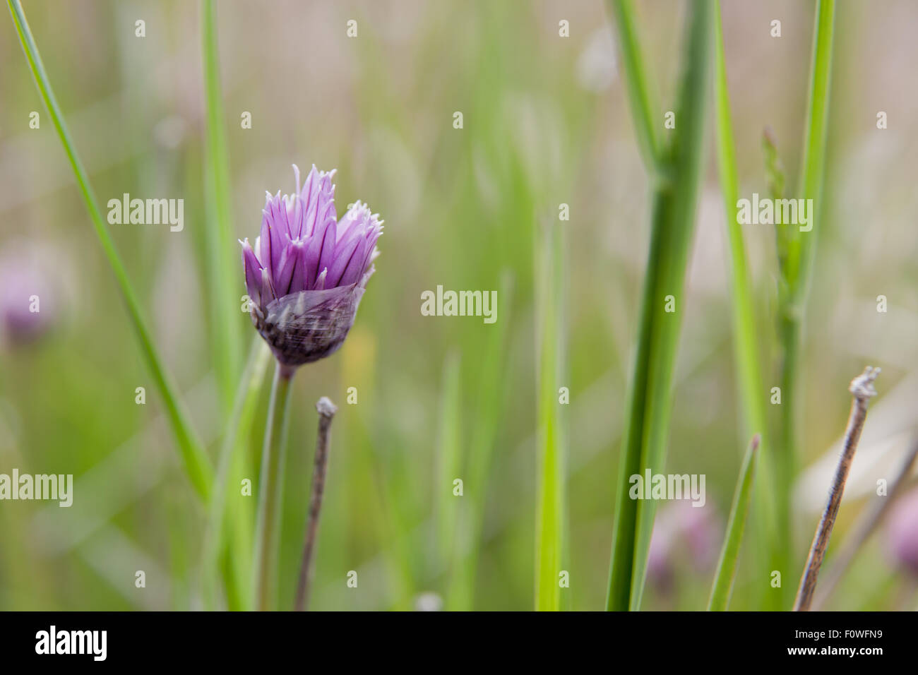 A Purple Chive Plant Flower Blooming Through Delicate Paper Like