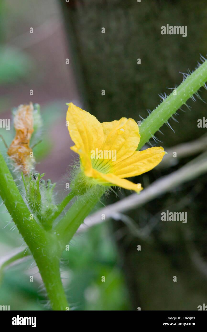 Cucumber flower (Cucumis sativus) - Stock Image