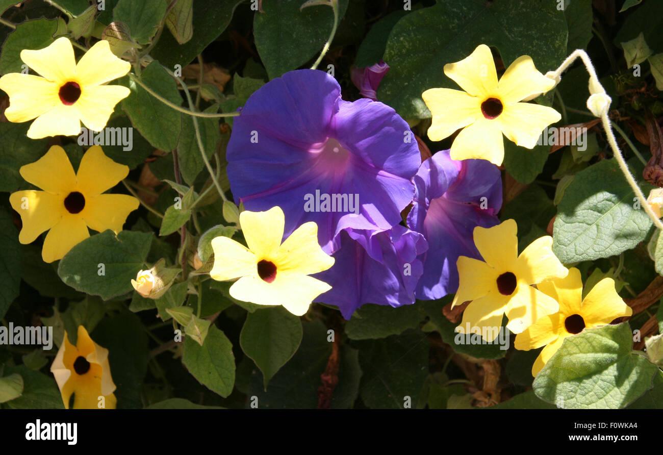 Morning Glories and Black-eyed Susans - Stock Image
