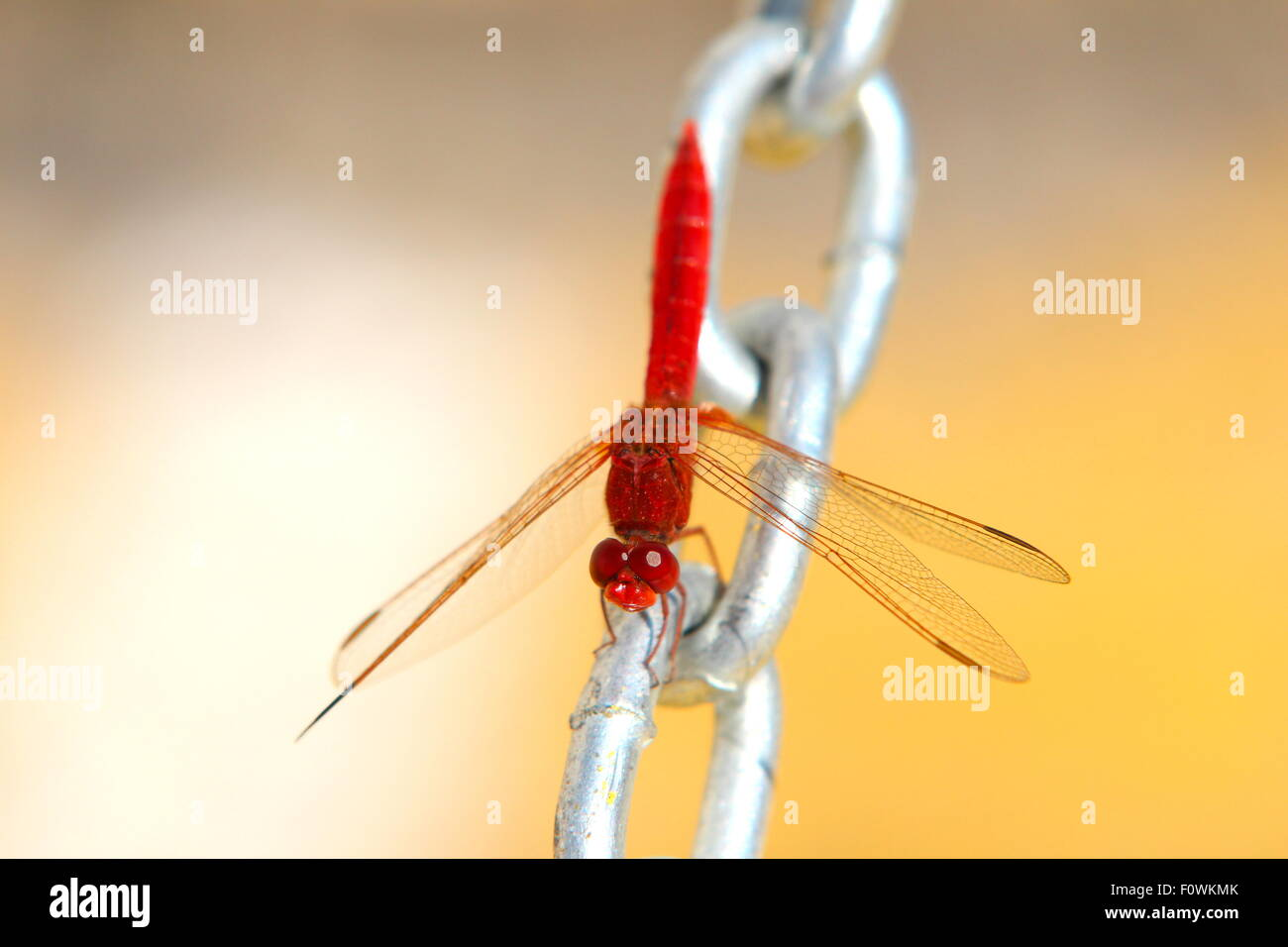 Red Dragonfly on steel chain with yellow background Stock Photo