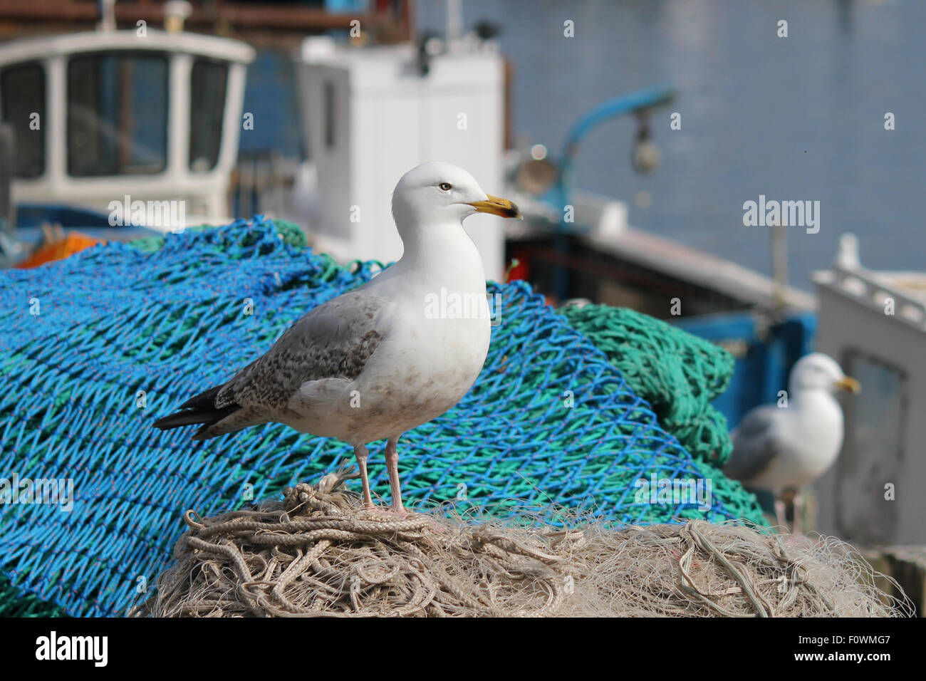 Seagull on Fishing nets. Scarborough U.K. - Stock Image
