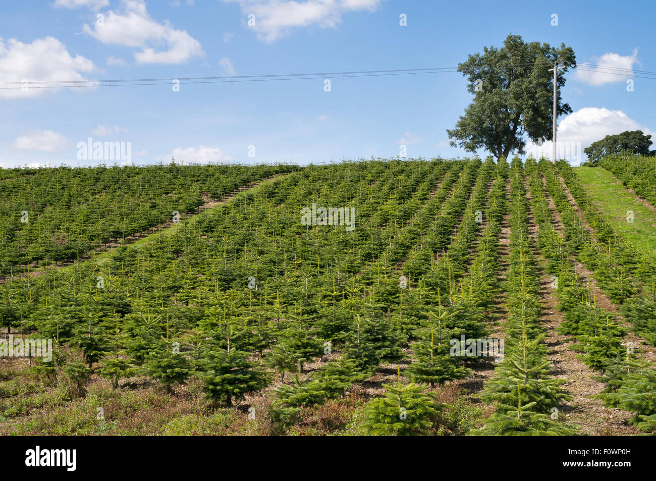 A plantation of young conifers by Netherraw Forestry Ltd, at Lilliesleaf,  Melrose, Scotland, UK - Stock Image