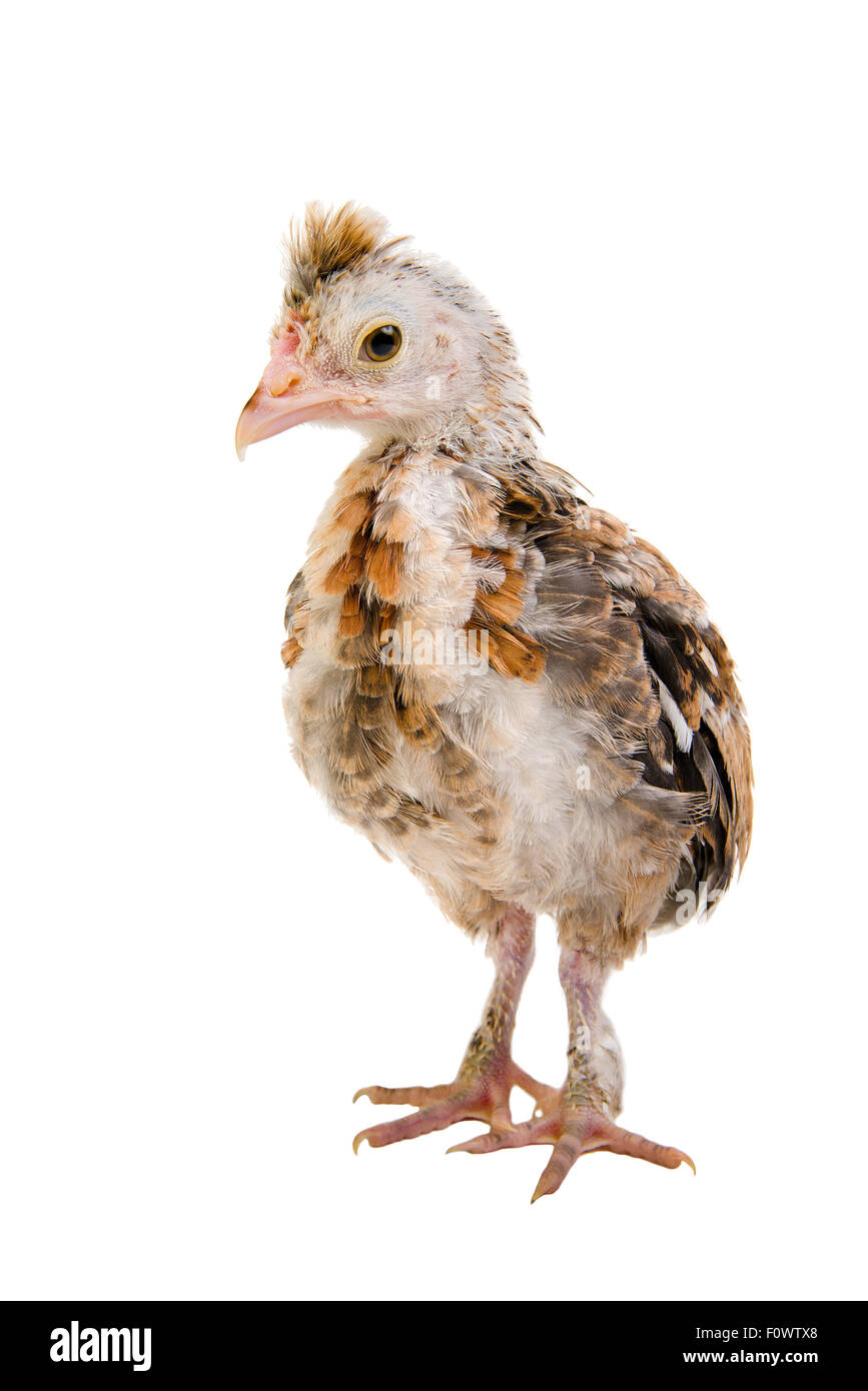 one  chick stand on white background, isolated, close up - Stock Image