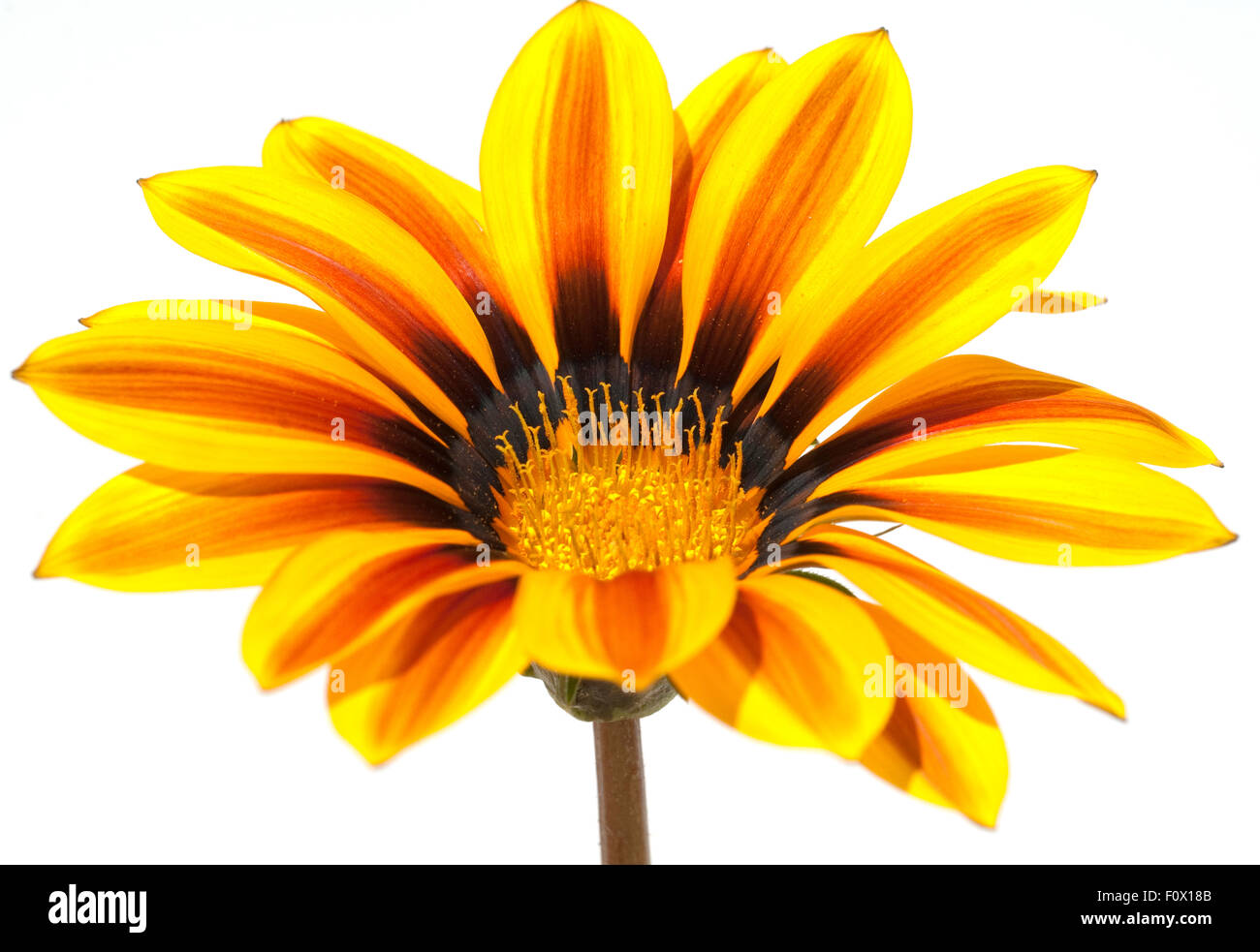 Gazania, Gazania Hybride; Splendens; - Stock Image