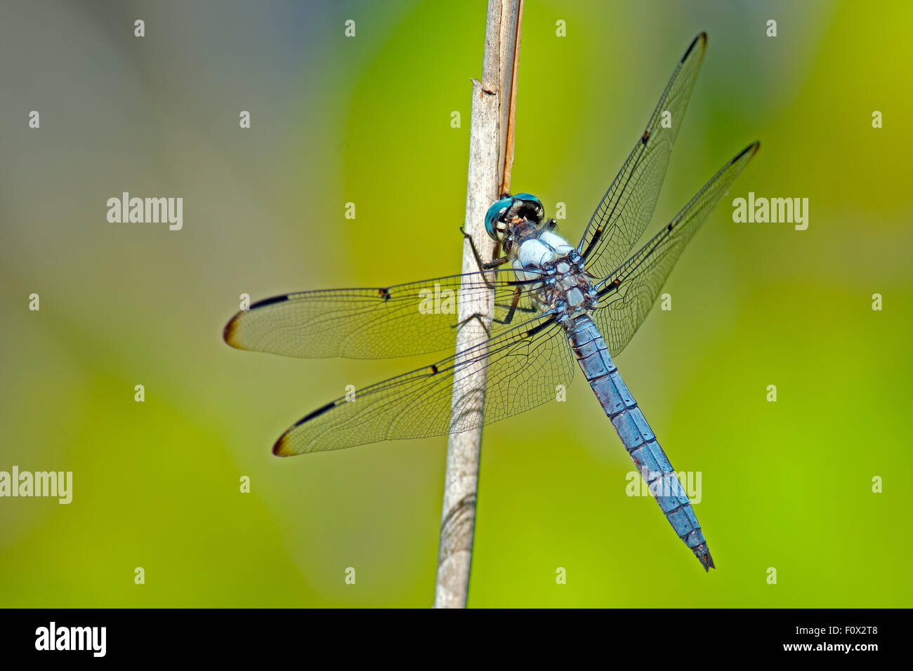 Eastern Pondhawk Dragonfly - Stock Image