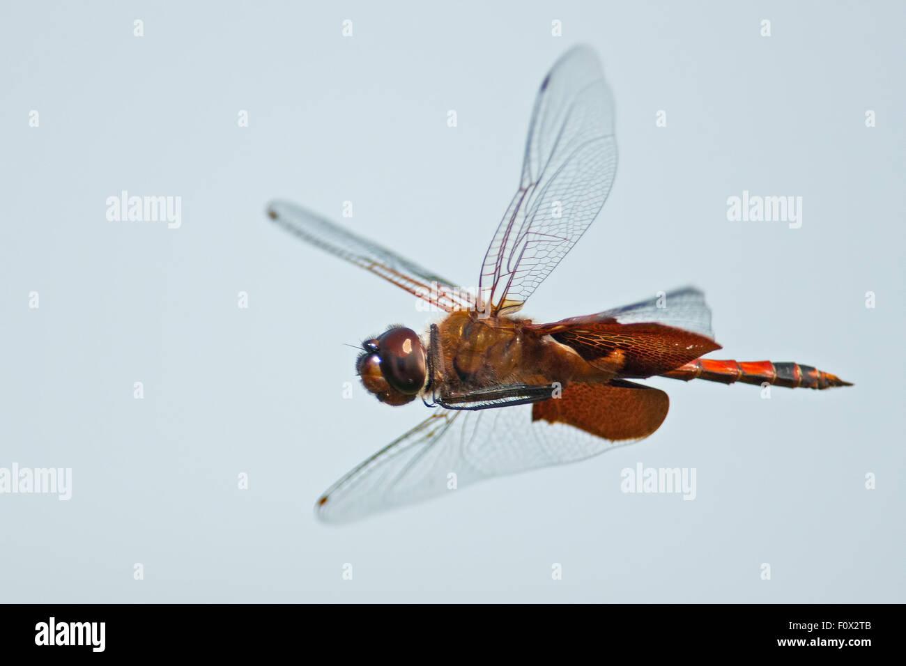 Carolina Saddlebags Dragonfly in Flight - Stock Image