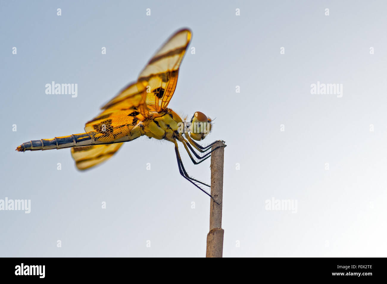 Halloween Pennant Dragonfly - Stock Image