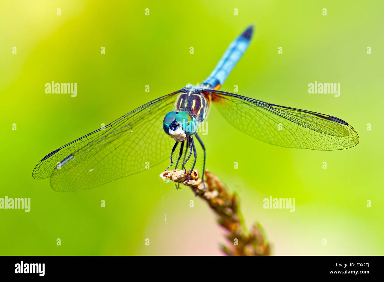 Blue Dasher Dragonfly - Stock Image