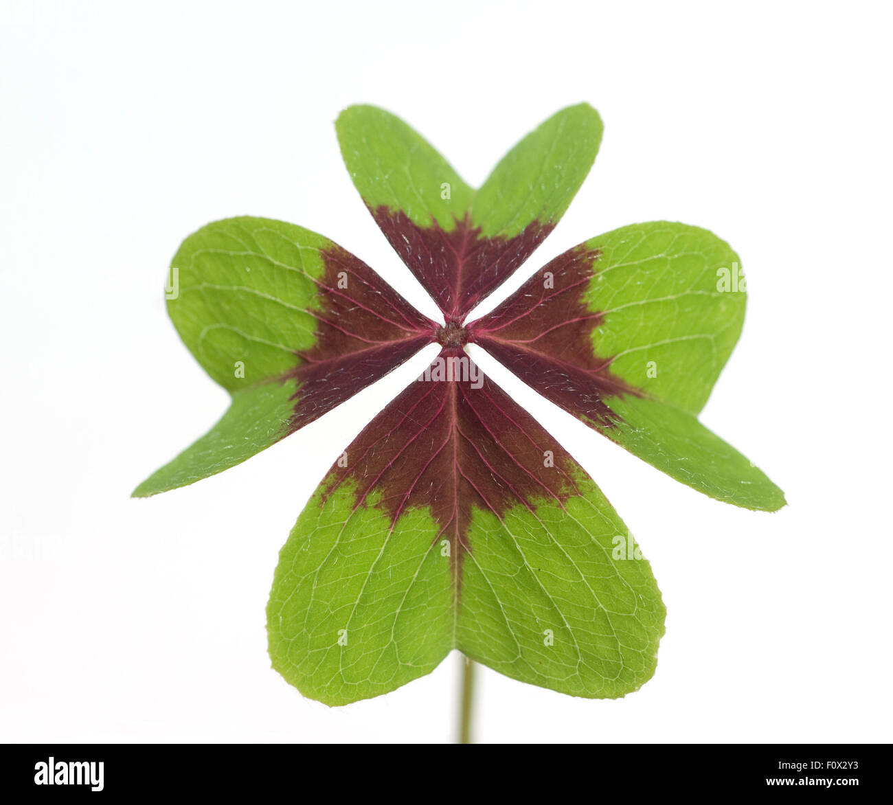 Gluecksklee, Oxalis tetraphylla, Vierblaettriger, Sauerklee - Stock Image