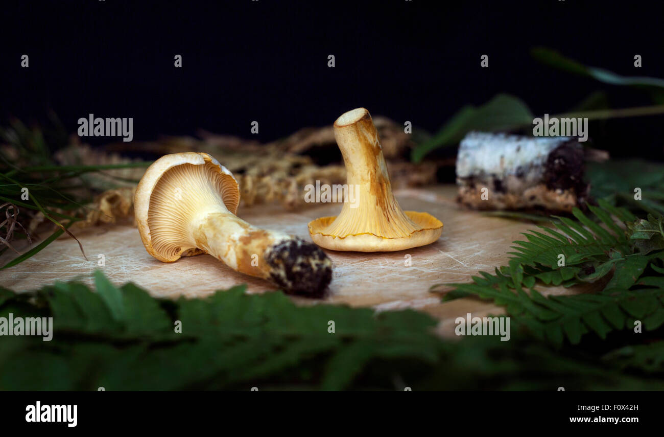 eatable chanterelle mushrooms on the wooden background - Stock Image
