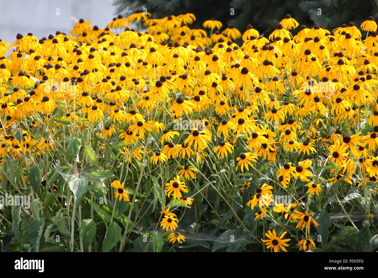 Thick Blanket Of Pretty Yellow Flowers Black Eyed Susan In A