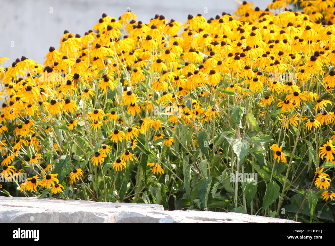 Thick blanket of pretty yellow flowers black eyed susan in a thick blanket of pretty yellow flowers black eyed susan in a flower garden mightylinksfo