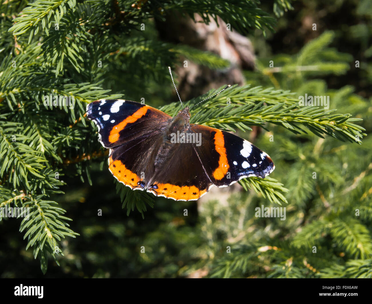 Butterfly red admiral, vanessa atalanta, sitting on a branch Stock Photo