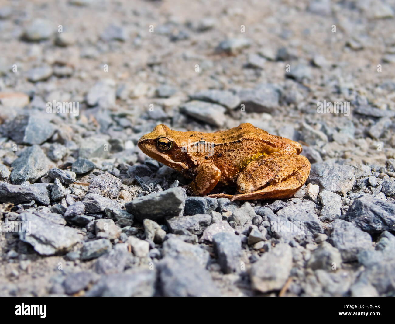 Common toad, rana temporaria, sitting on the rocky road - Stock Image