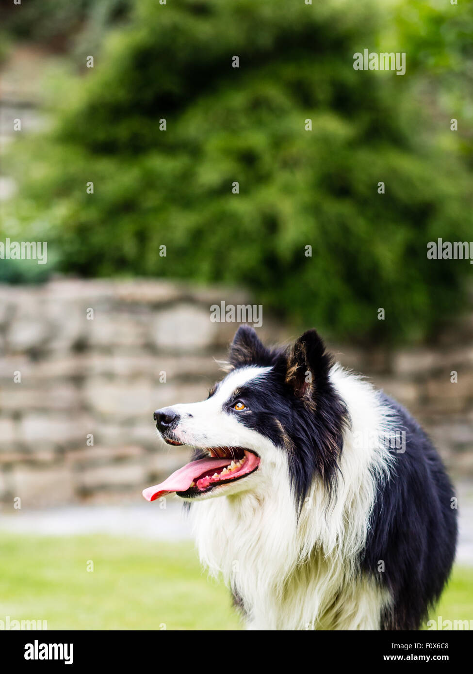 Dog, border collie, watching, waiting and obedient Stock Photo
