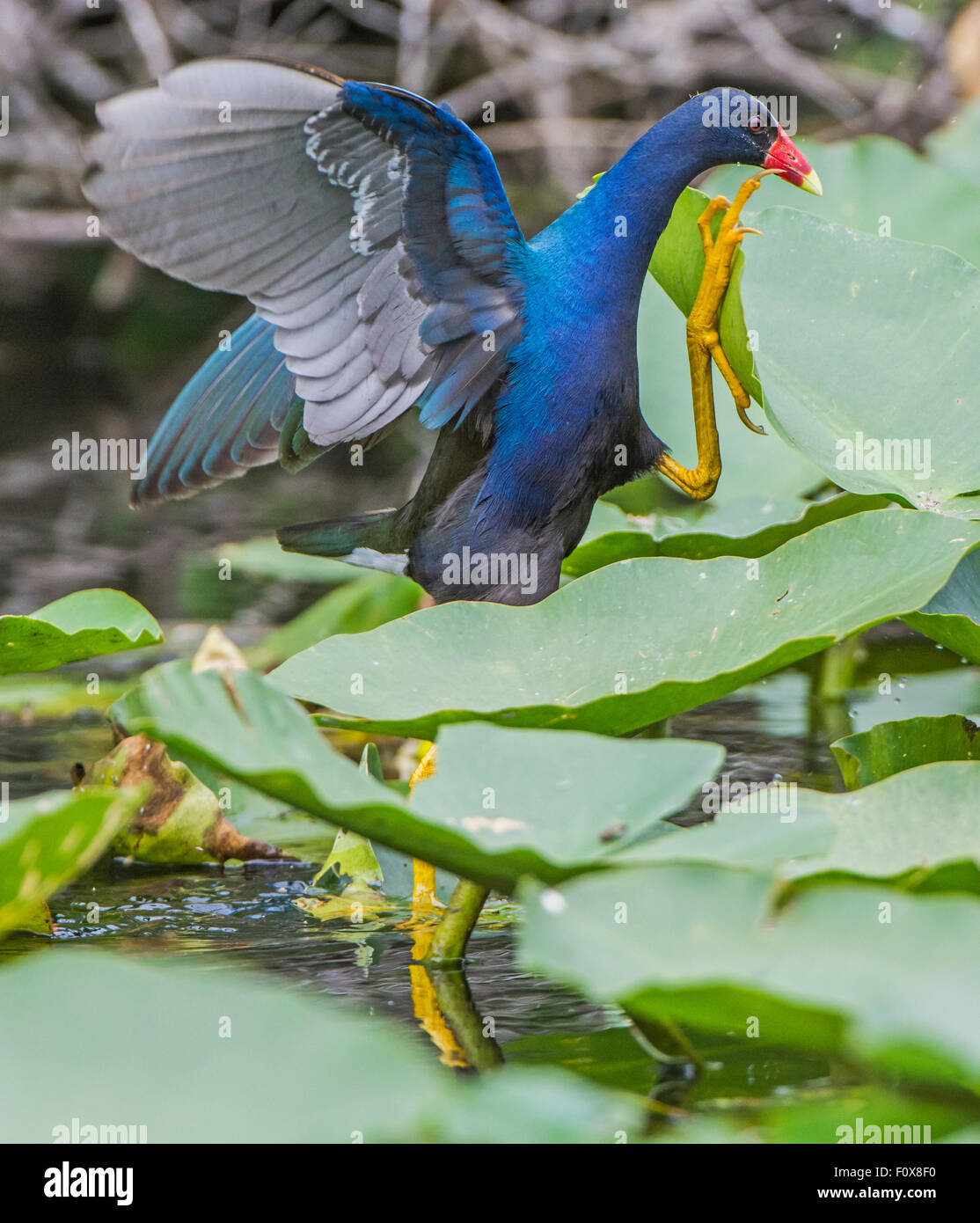 American Purple Gallinule (Porphyrio martinica) running - Stock Image