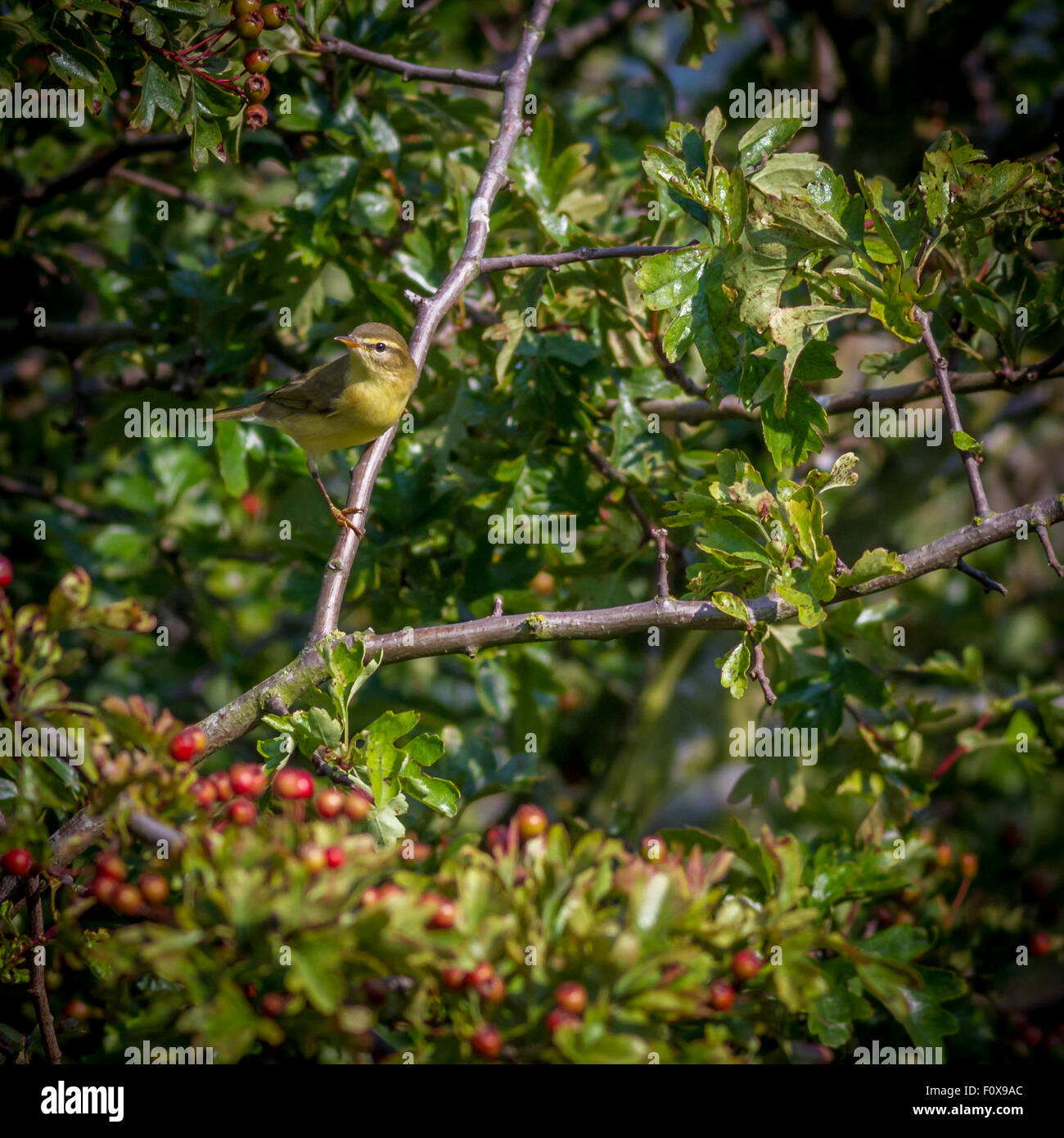 Chiffchaff taking a short break between flitting in and out of the branches looking for insects. - Stock Image