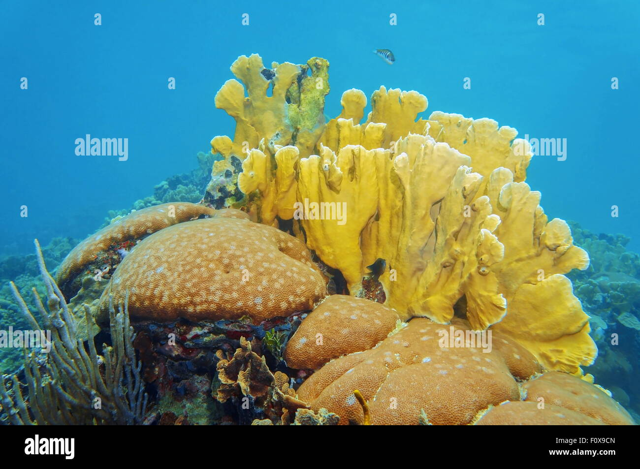 Coral reef underwater with massive starlet and bladed fire corals, Caribbean sea - Stock Image