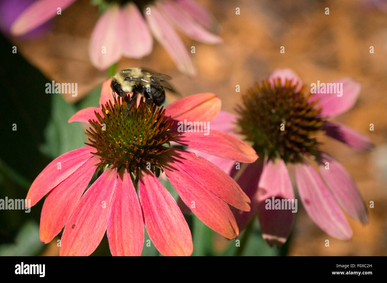 A bumble bee searching for nectar from Purple Cone Flower or Echinacea Purpurea in Minnesota, USA - Stock Image