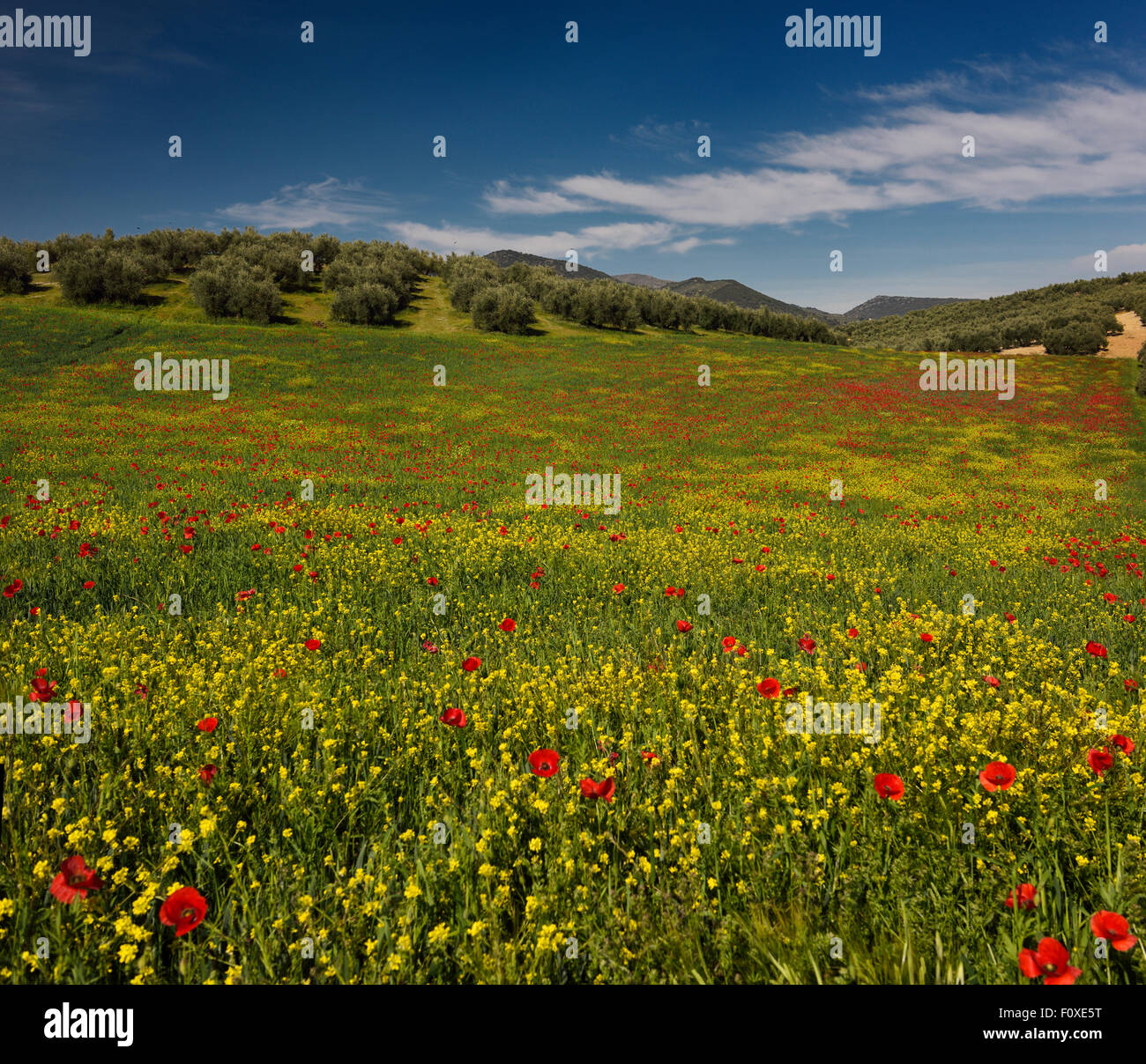 Fallow field of Red Poppies and Yellow Rocket weeds below Olive grove at Puerto Lope Spain Stock Photo