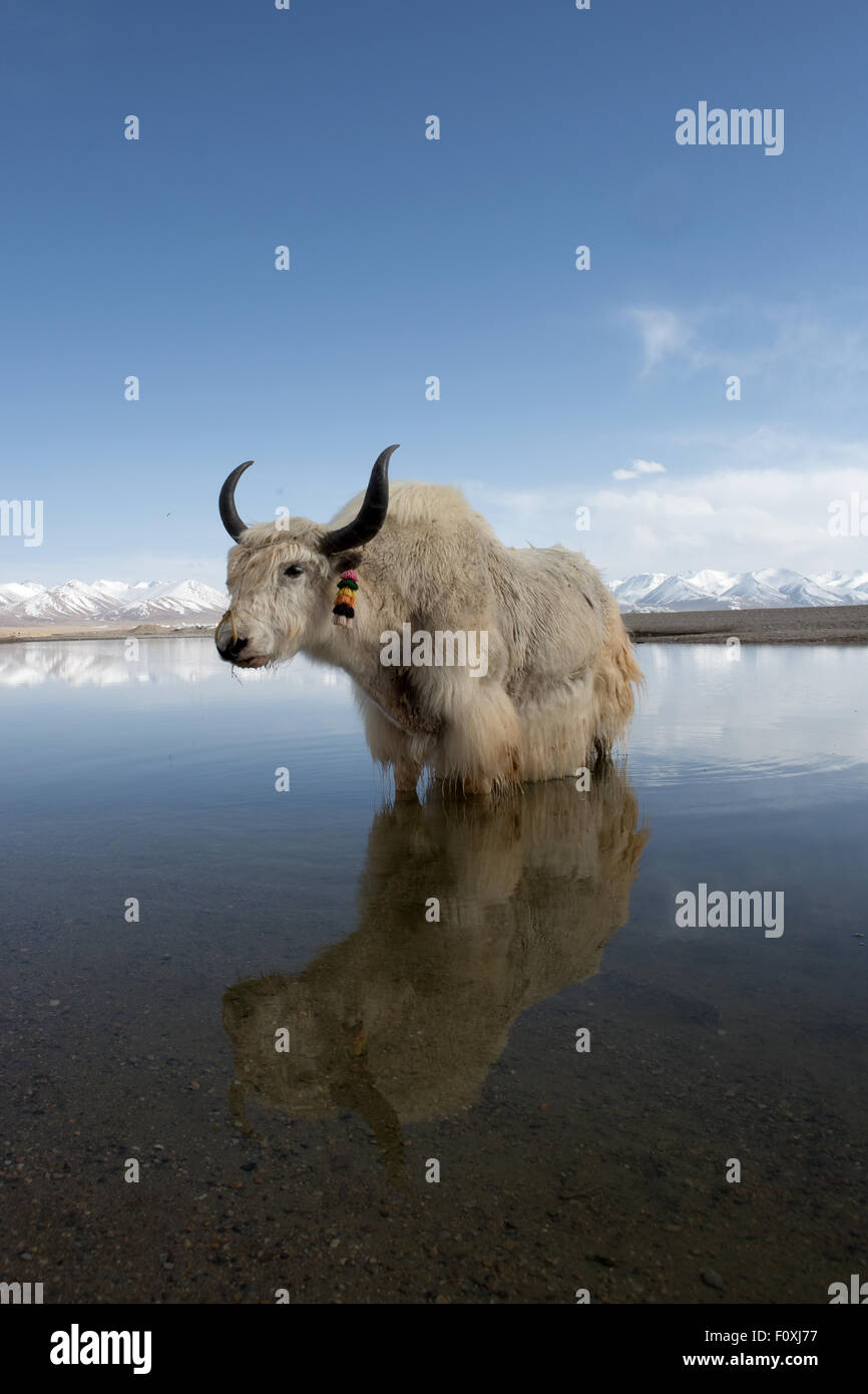 Chilly paddle. Yak standing in the calm waters of Lake Namtso, Tibet - Stock Image