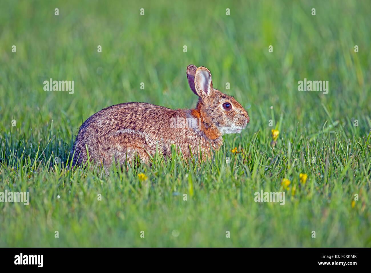 Cottontail Rabbit - Stock Image