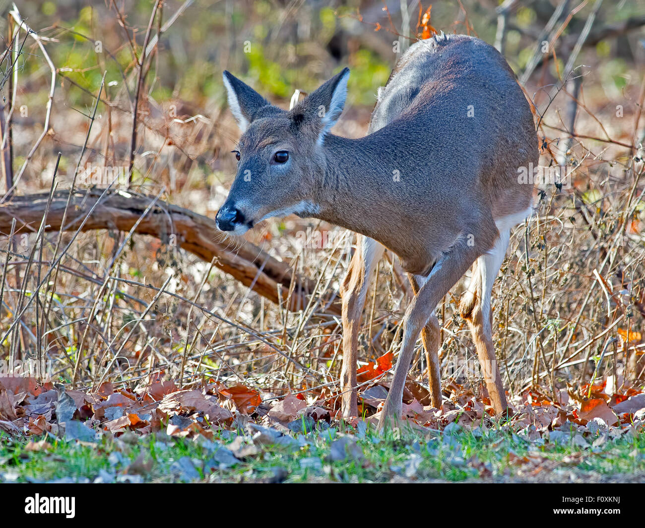 White-tailed Deer in the woods - Stock Image