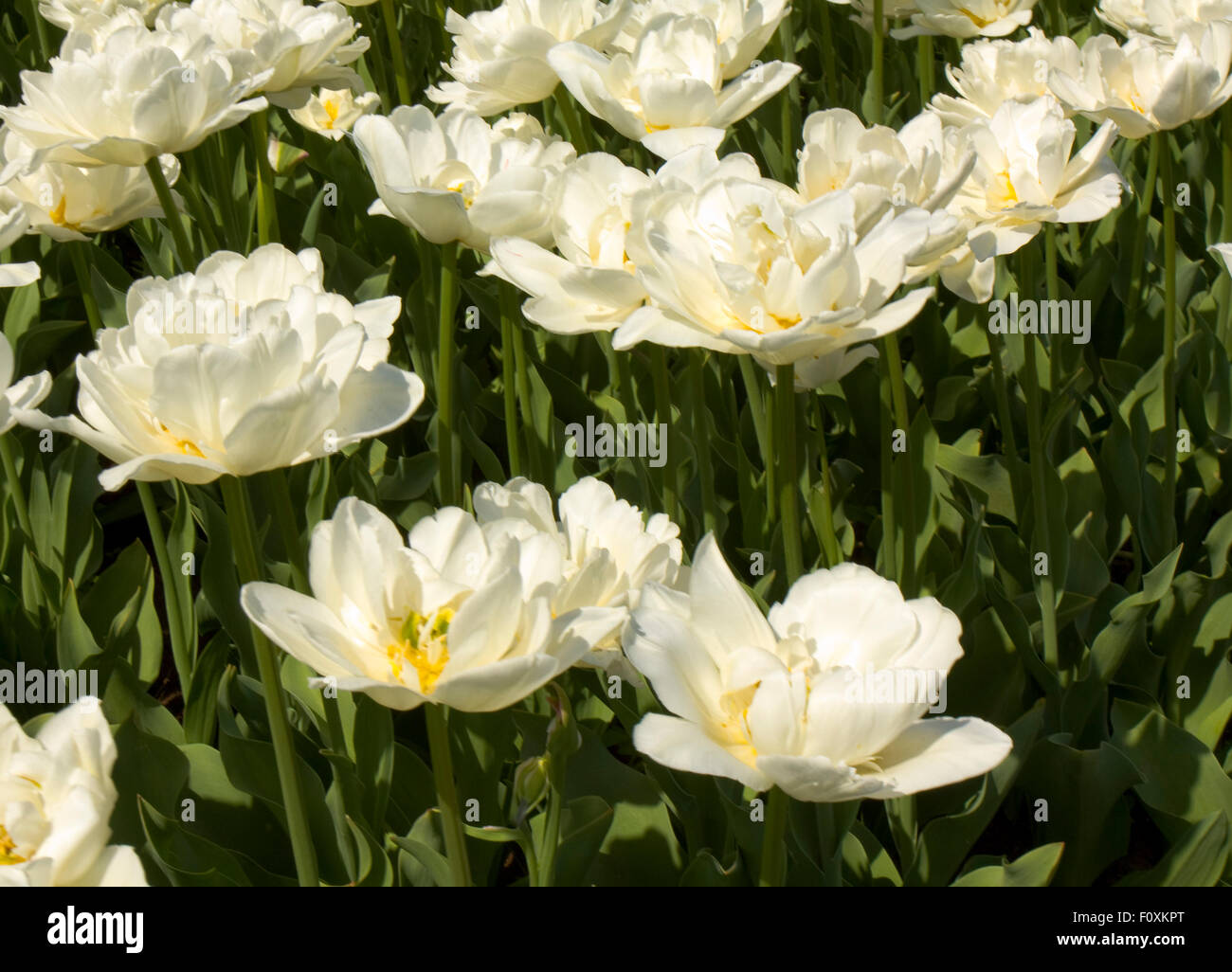 Flower bed with white tulips, horizonal. - Stock Image