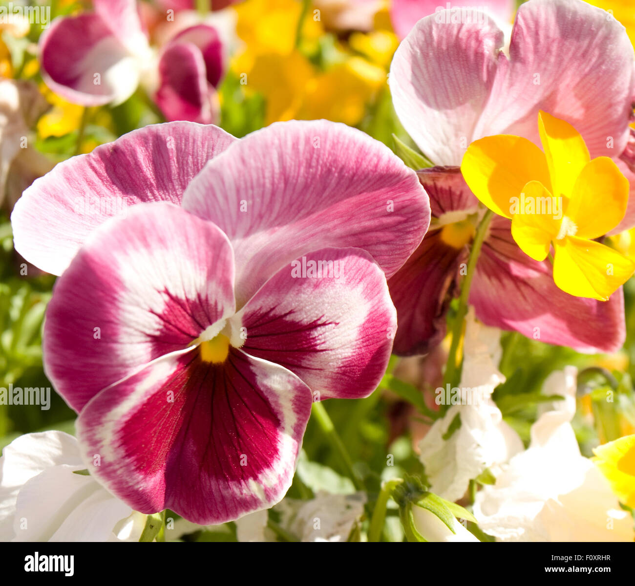 Pink Pansy Viola Tricolor With Other Flowers On Flower Bed Stock