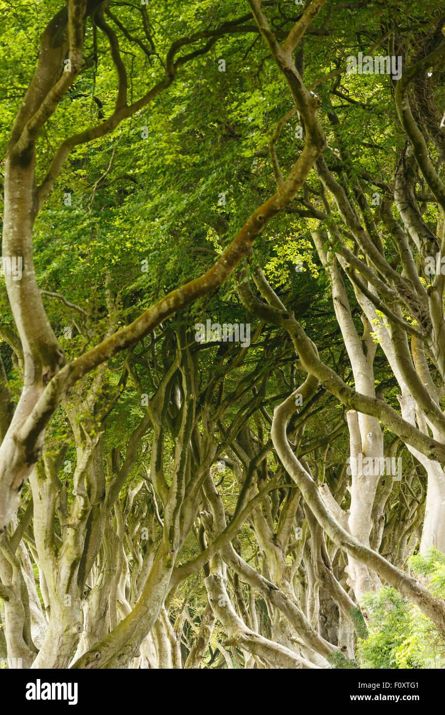 The Dark Hedges, County Antrim, North Ireland, United Kingdom, Europe - Stock Image