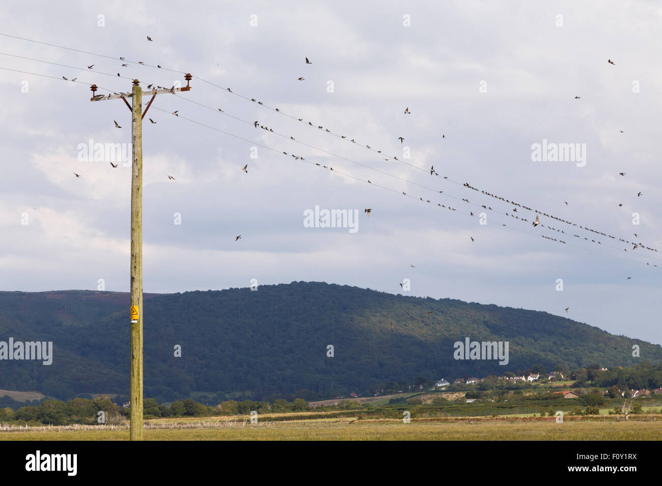 House martins gathering on electricity wires, in preparation for migration. Stock Photo