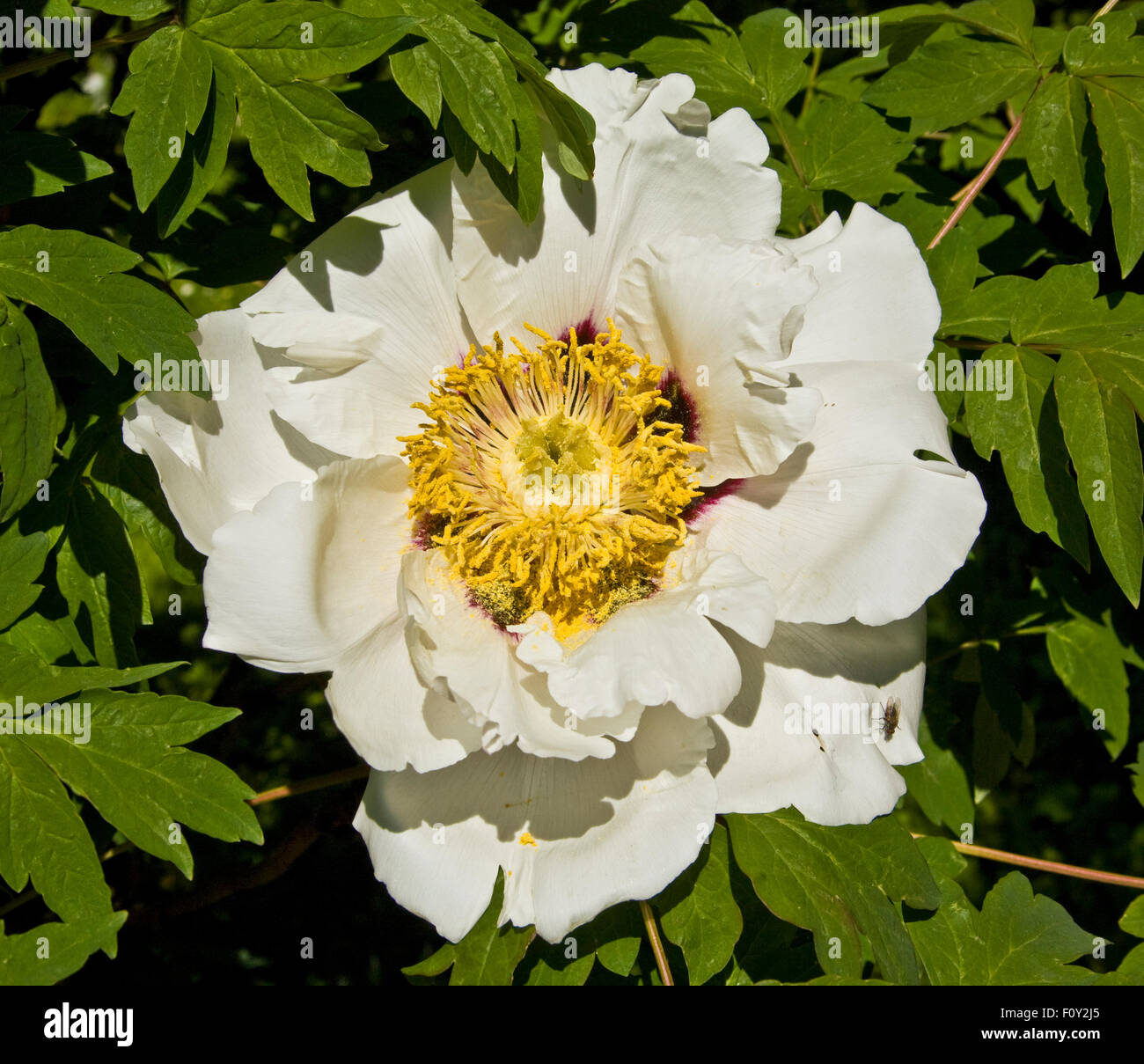 Big white flower gallery fresh lotus flowers one big white flower of treelike peony stock photo 86646621 alamy mightylinksfo
