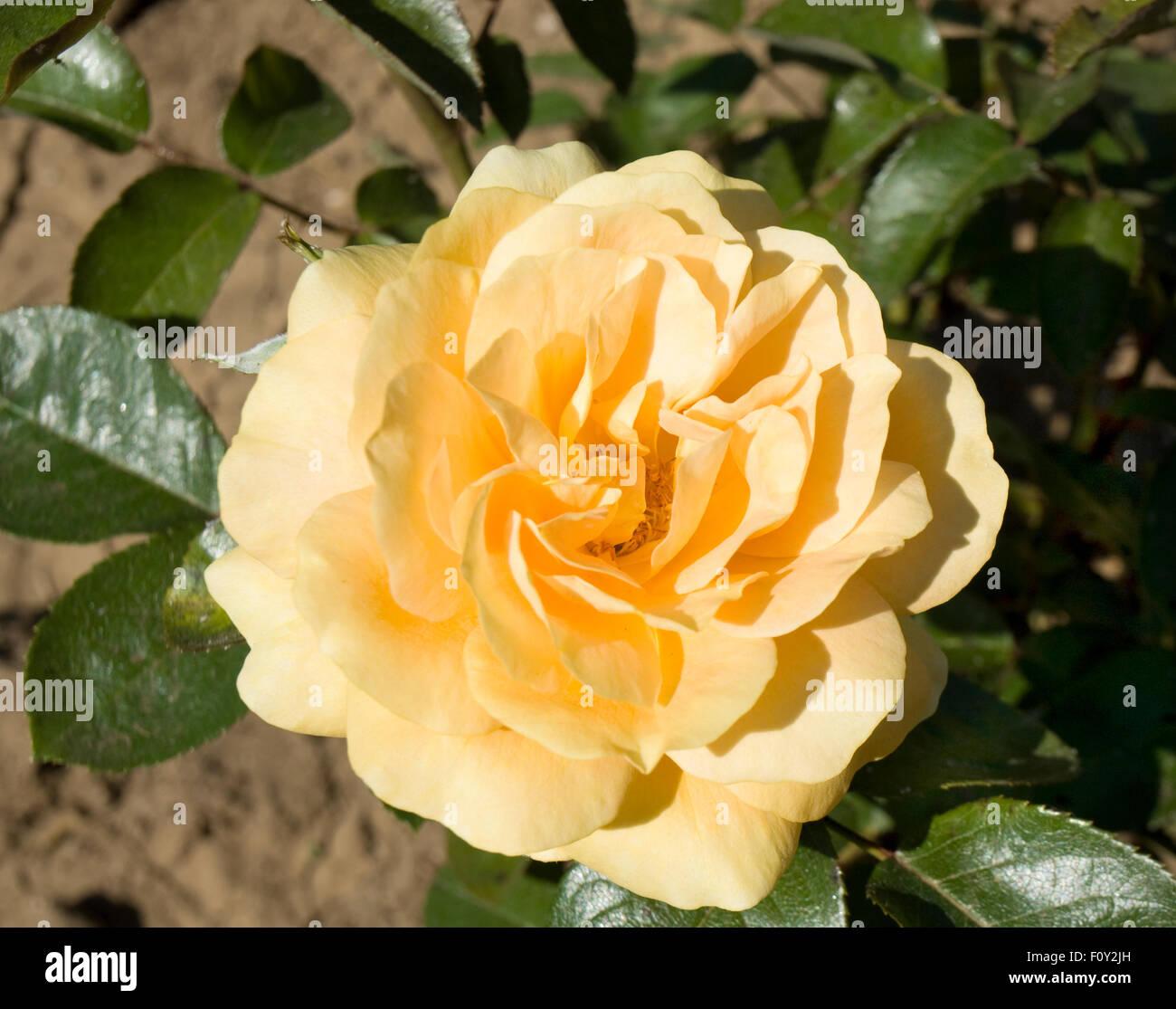 One Big Flower Rose Yellow Stock Photos One Big Flower Rose Yellow