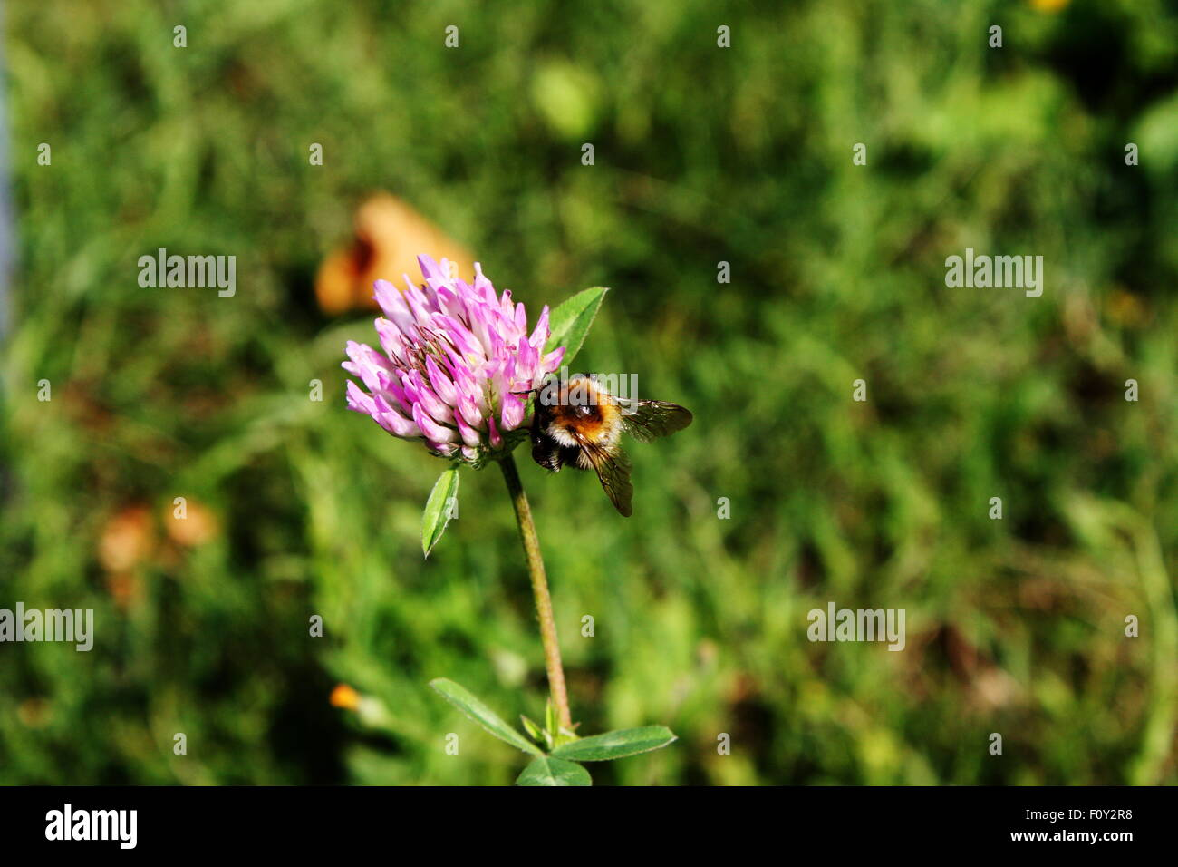 a bee on flower - Stock Image