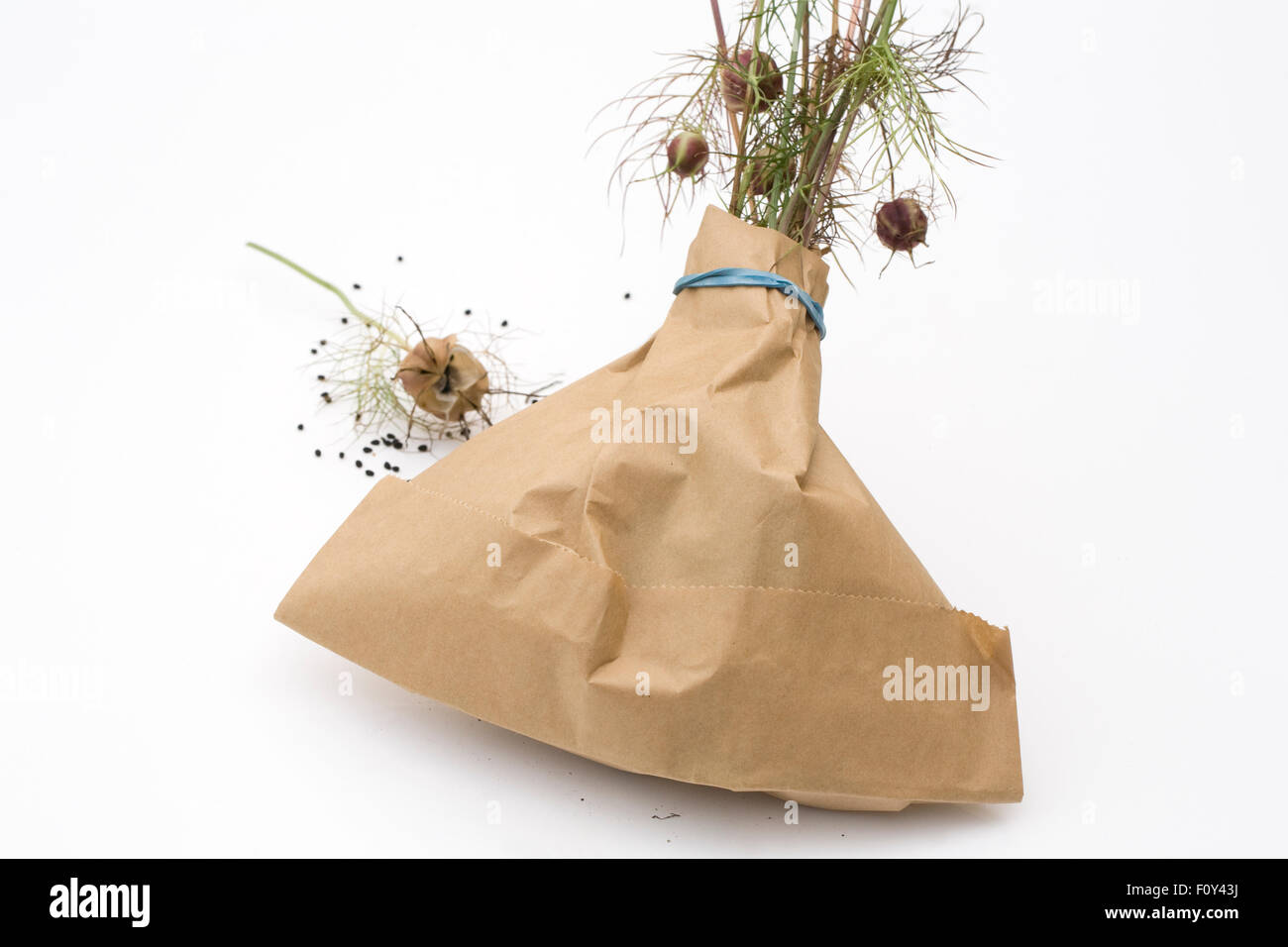 Nigella damascena 'Persian Jewels' seedhead. Collecting Love-in-the-mist seedpods in a paper bag. - Stock Image