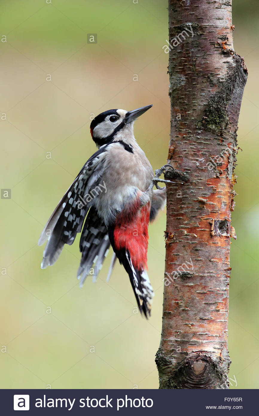 A Great spotted woodpecker clinging to a tree. - Stock Image