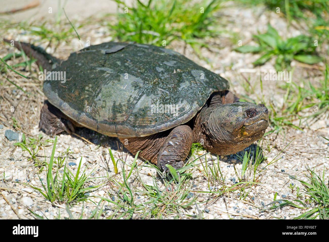 Common Snapping Turtle on Road Stock Photo
