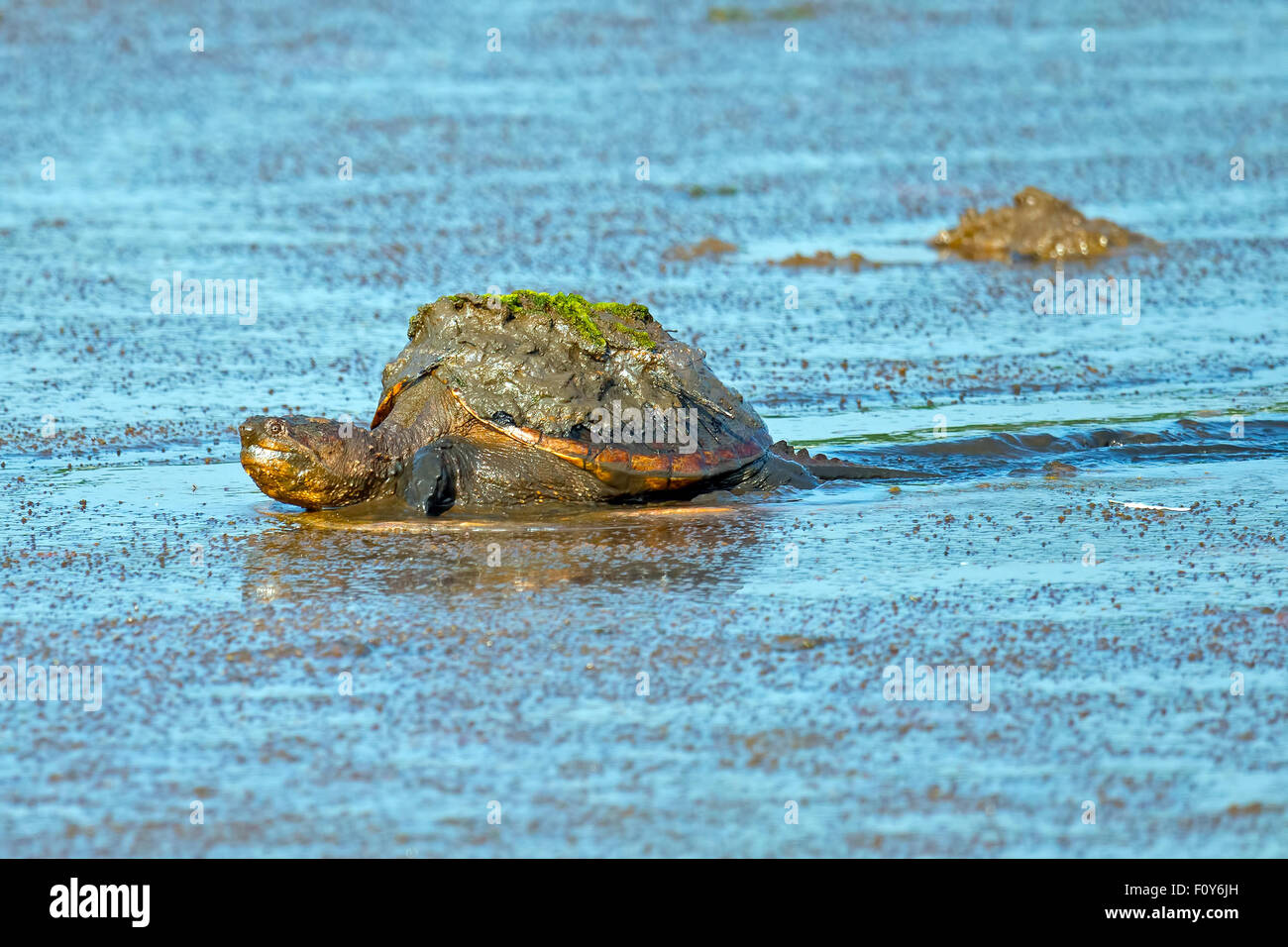 Common Snapping Turtle Moving through Muddy Marsh Stock Photo