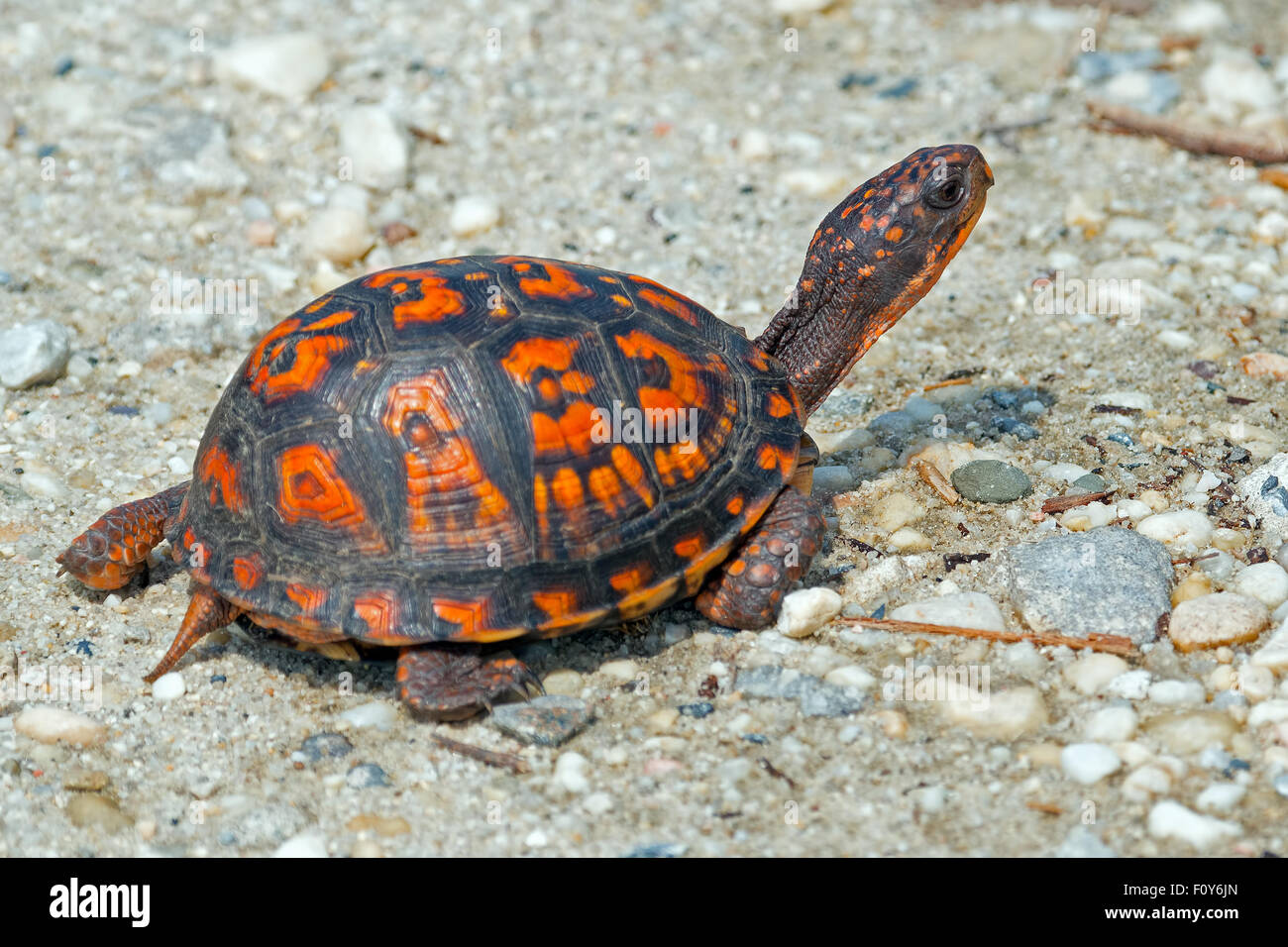 Box Turtles On the Dirt Road - Stock Image