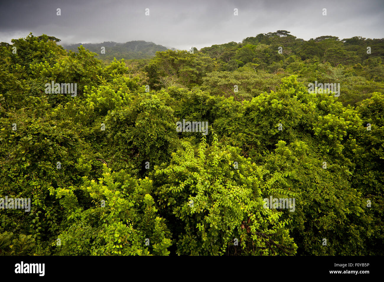 Rainforest canopy in the rainy season with new green growth in Soberania national park, Republic of Panama. - Stock Image