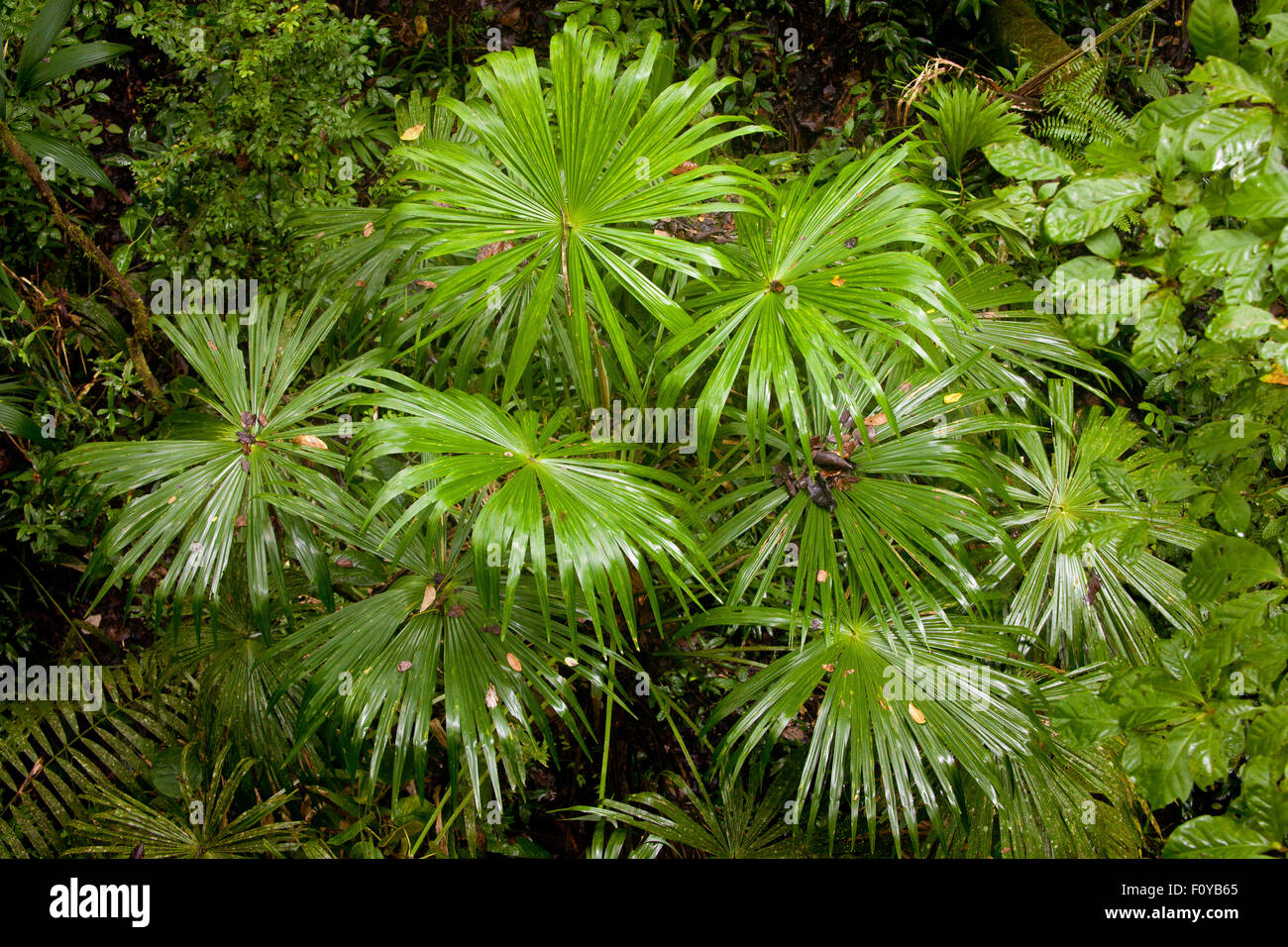 Palm formation inside the rain forest of Soberania national park, Republic of Panama. - Stock Image