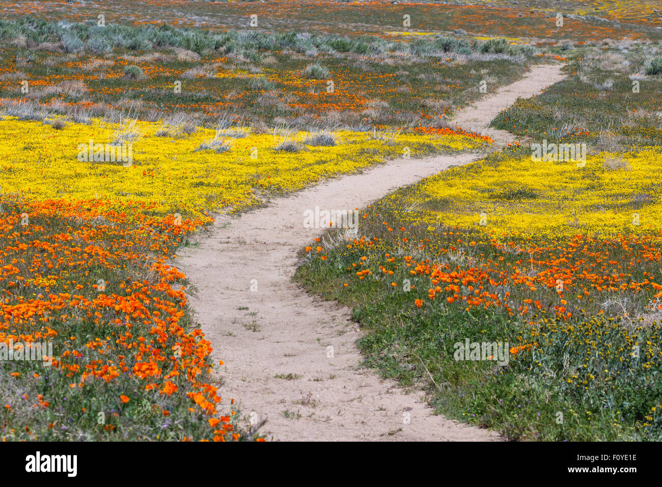 Early spring flowers blooming along the walking trail of the early spring flowers blooming along the walking trail of the antelope valley poppy preserve in california mightylinksfo