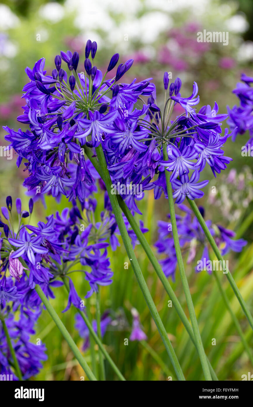 Blue trumpet flowers of the hardy deciduous Agapanthus 'Northern Star' - Stock Image